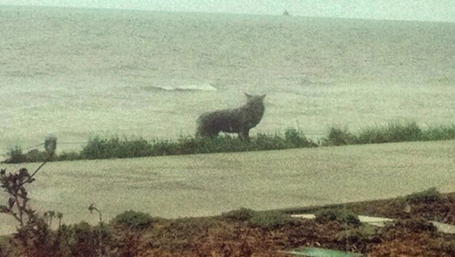 Residents Warned of Beach Coyote Sightings