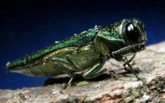 Emerald Ash Borer Spreads in Will County