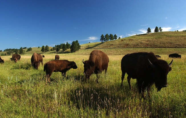 US Halts Plan to Transfer Montana Bison Management to Tribe