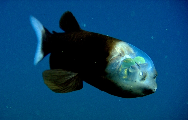 Crazy See-Through Fish Wows Scientists