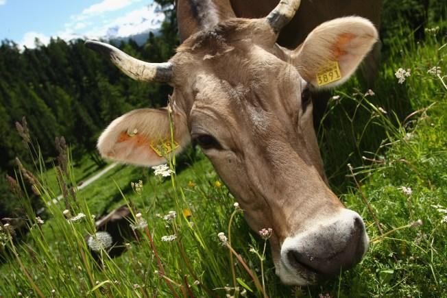 PETA Wants Memorials for Cows Killed on Road