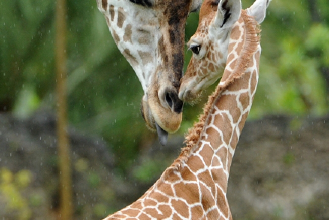Brookfield's Baby Giraffe Makes First Appearance