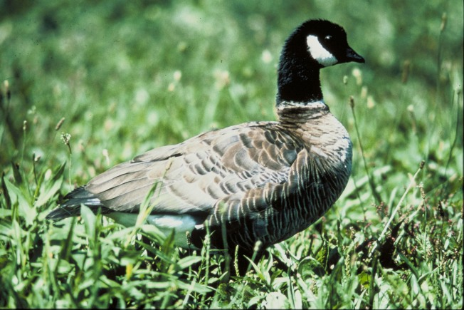 Fowl Play: Teen Accused of Killing Goose