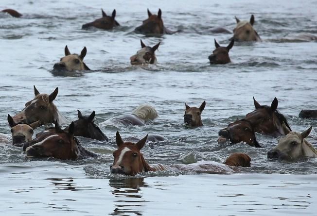 [NATL-DC]Photos: 200+ Wild Ponies Take a Swim on Virginia's Eastern Shore