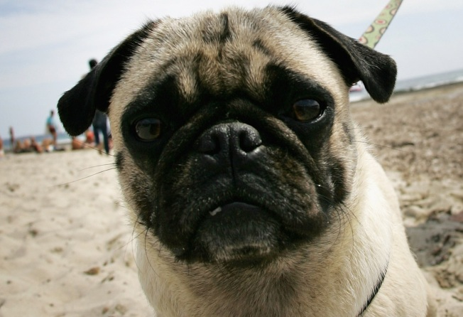 Pugs, Pugs Everywhere