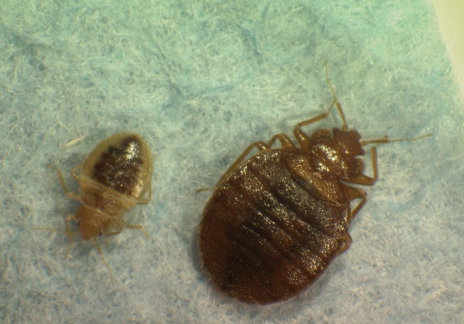 Chicago is Fifth Most Bedbug-Infested City: Survey