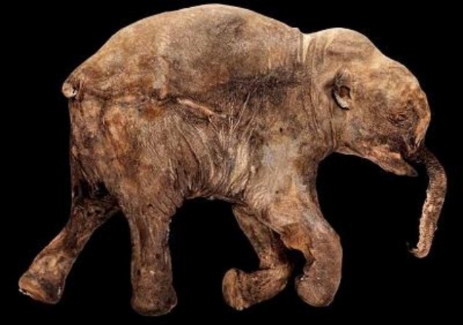 Field Museum's Mammoth is Moving