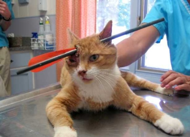Cat Recovering After Being Pierced by Arrow