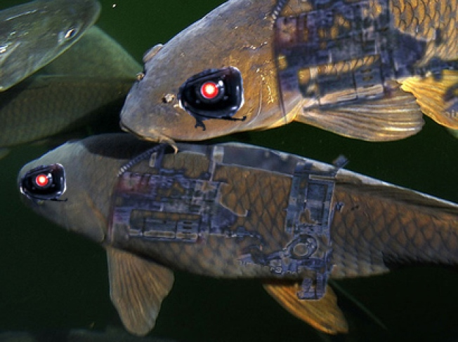 No Asian Carp Found After Four-Day Hunt