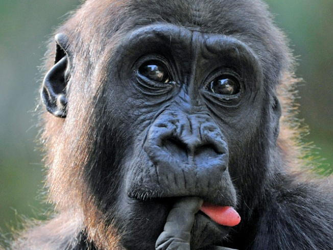 What Happens When an Ape Needs a Blood Transfusion?