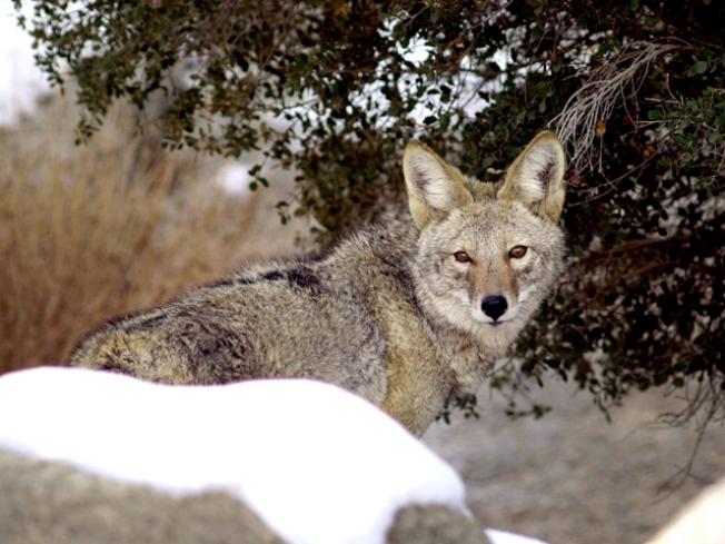 Trapper Takes Out Four Coyotes in Wheaton