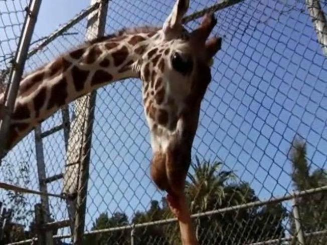 Peoria Zoo Searches for New Giraffe