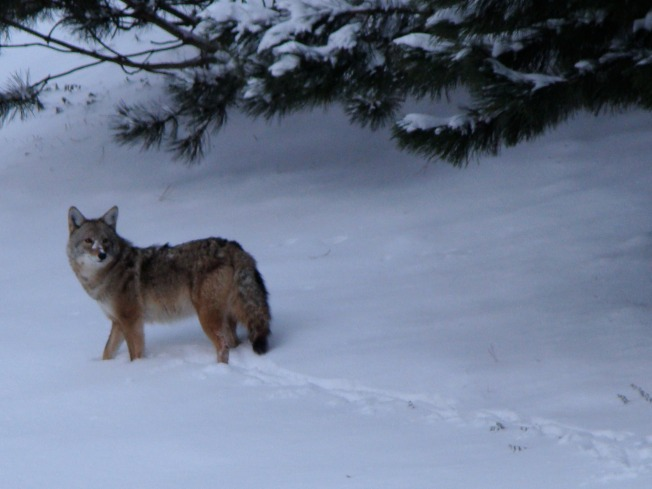 Wheaton Sees a Man About a Coyote