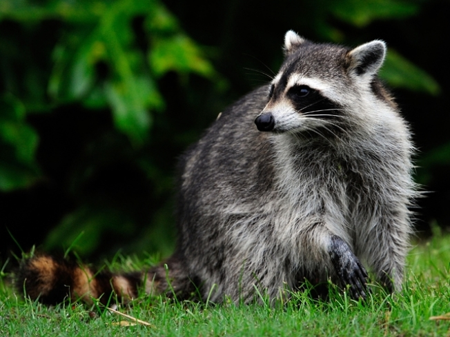 Renegade Raccoons Ravage Lakefront