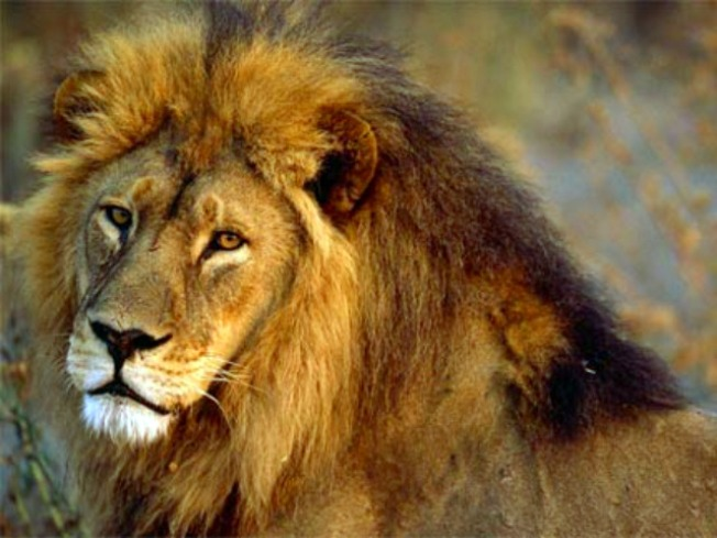 Lion-Burger Meat Came From Illinois