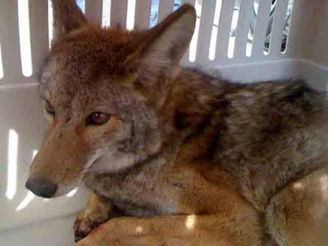 Illinois: Beware the Indestructible Coyote