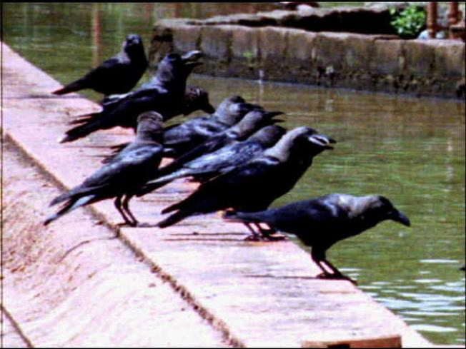 Thousands of Crows Leave Their Mark on Terre Haute