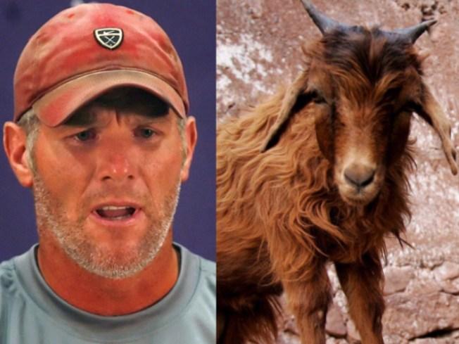 Brett Favre's Comeback Endangering Innocent Goats