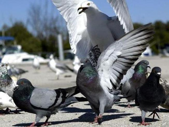 Oak Park Pigeons May Be Euthanized