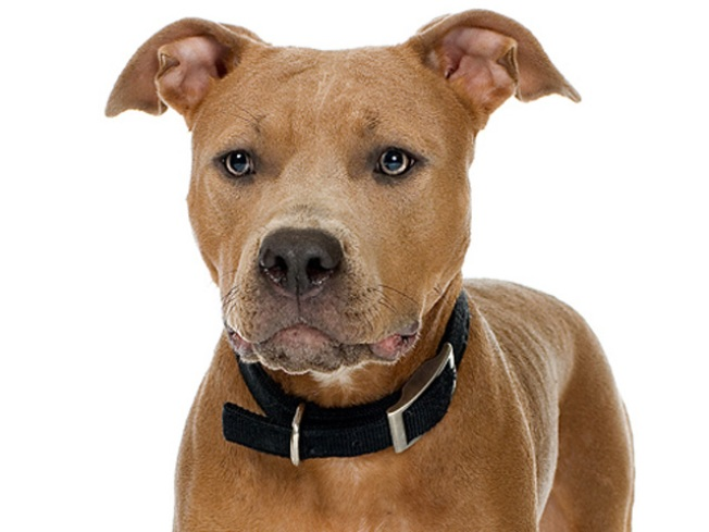 Lawsuit: Pit Bull Kills Dog at Vet