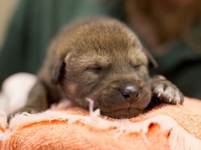 Be Free! Zoo Releases Red Wolf Pups