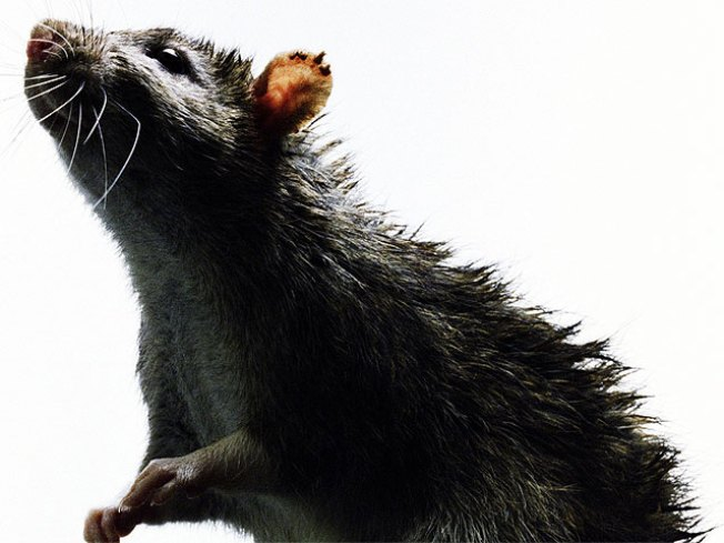 Rats! City to Pay for Informing on Tax Cheats