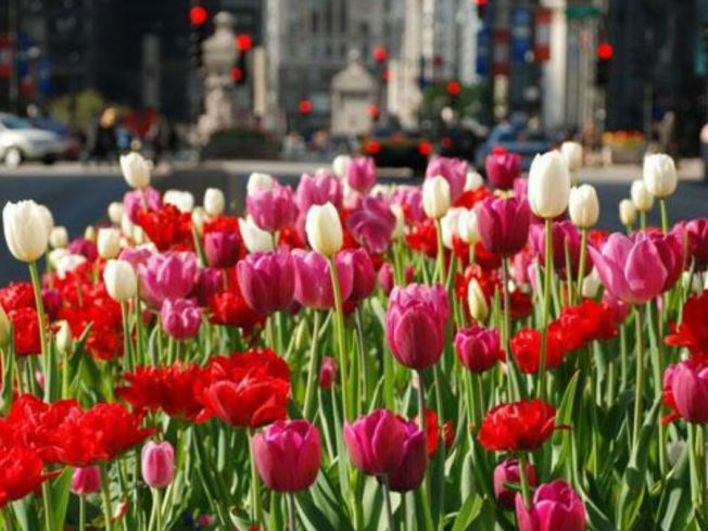 Spring Finally Blooms In Chicago With 50-Degree Temps