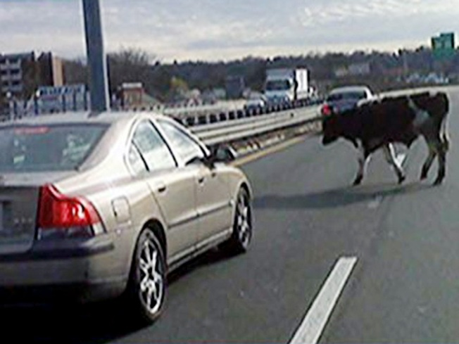 Mystery Cowboy Lassoes Runaway Cows on Highway