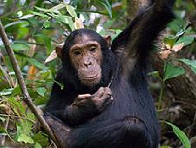HIV/AIDS Originated 125 Years Ago, Spread from Chimps to Humans
