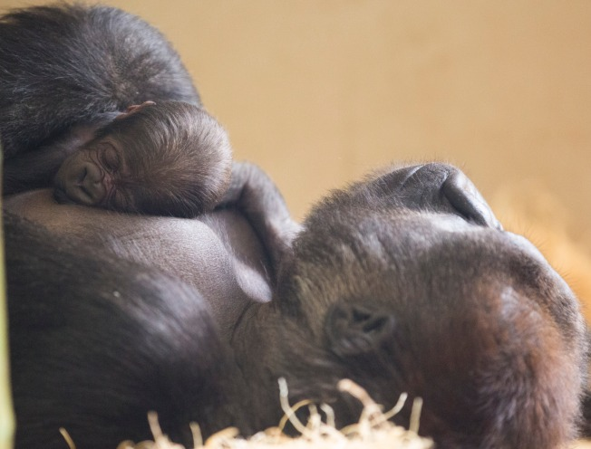 Baby Gorilla Born at Lincoln Park Zoo