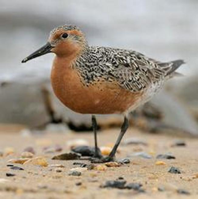 Horsehoe Crab Fishermen Favored Over Red Knots