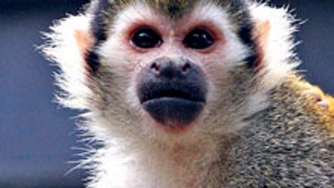 Stolen Zoo Monkey Found Safe
