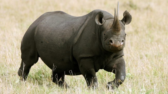 Thief Hacks Fake Rhino in Quest for Prized Horn