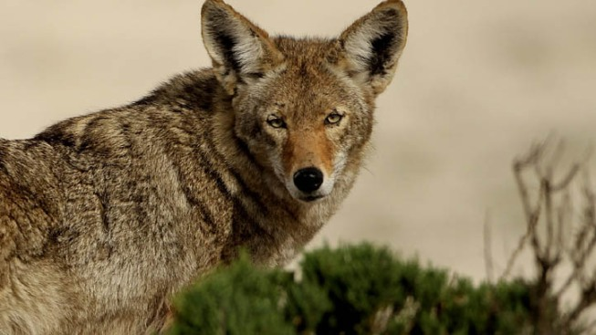 Coyote Sightings Spike Near Lombard