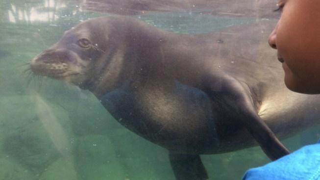 Endangered Hawaiian Monk Seal Population Rises to 1,400