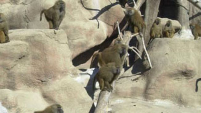 Iconic Baboon Exhibit Closes at Brookfield Zoo