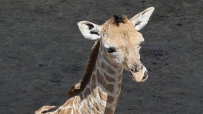 Brookfield Zoo Welcomes Baby Giraffe