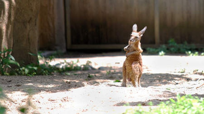 Baby Red Kangaroo Hops Into Lincoln Park Zoo