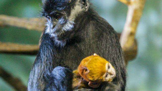 Lincoln Park Zoo Welcomes Newborn Primate