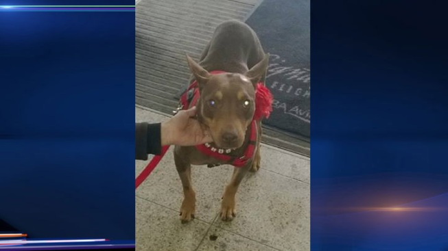 Search Underway for Rescued Doberman Missing After Getting Loose at Midway