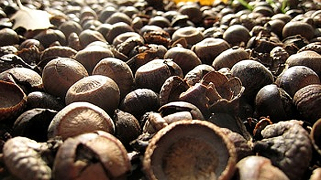 Kane County Asks Residents For Acorn Donations