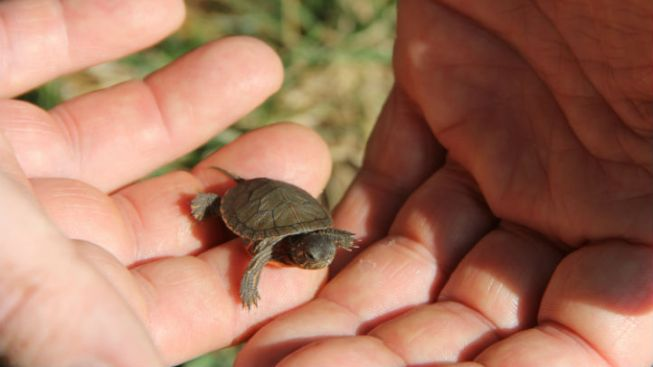 Baby Turtles Released Into DuPage Forest Preserve