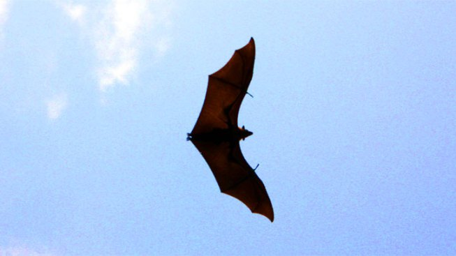 Rabid Bats Found in City