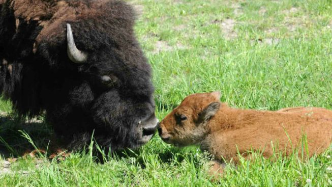 Brookfield Zoo Boasts Baby Bison Birth