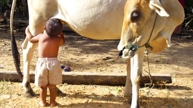 Abandoned Boy Nurses Straight From Cow Udder