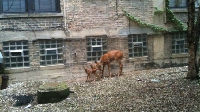 Deer Make Home in Boystown