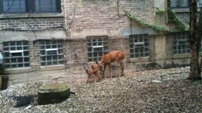 Boystown Deer Find New Home