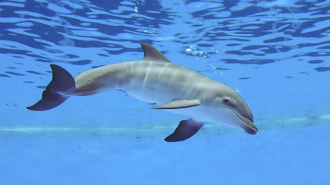 Brookfield Zoo's New Dolphin Calf Dies