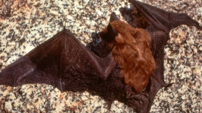 Bat in Box Prompts Rabies Fears