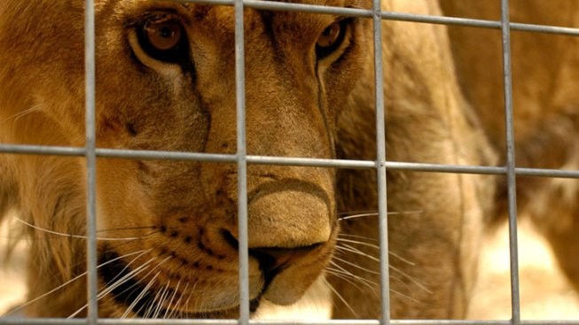 Proposed Bill Aims to Ban Lion Meat